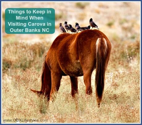 OBREC Carova Outer Banks things to keep in mind - wild horse